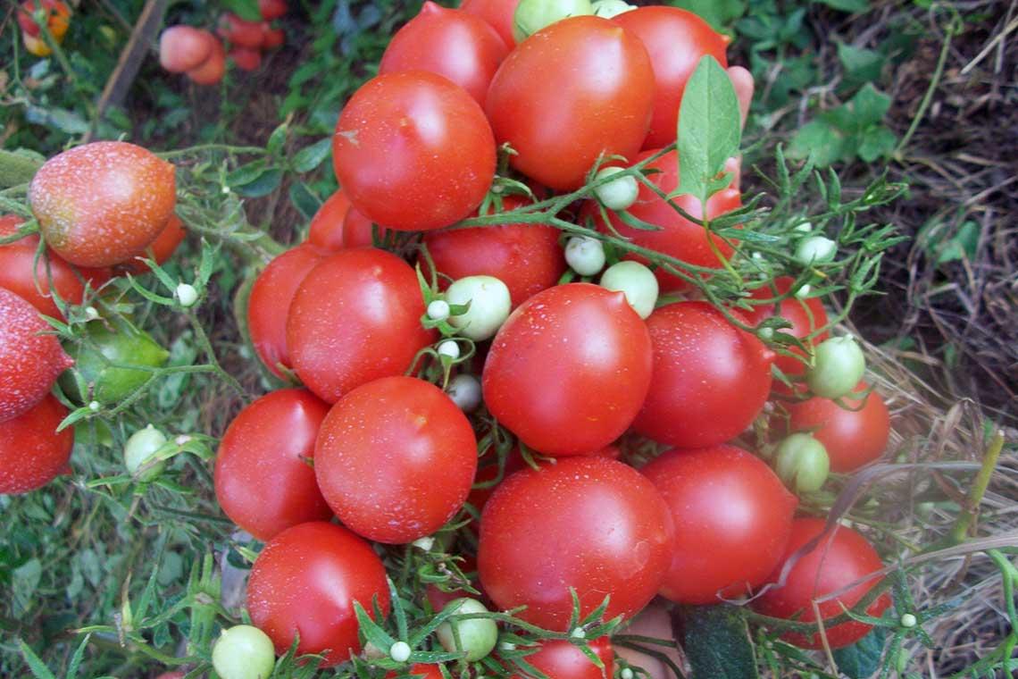 Томат Сливка гроздевая