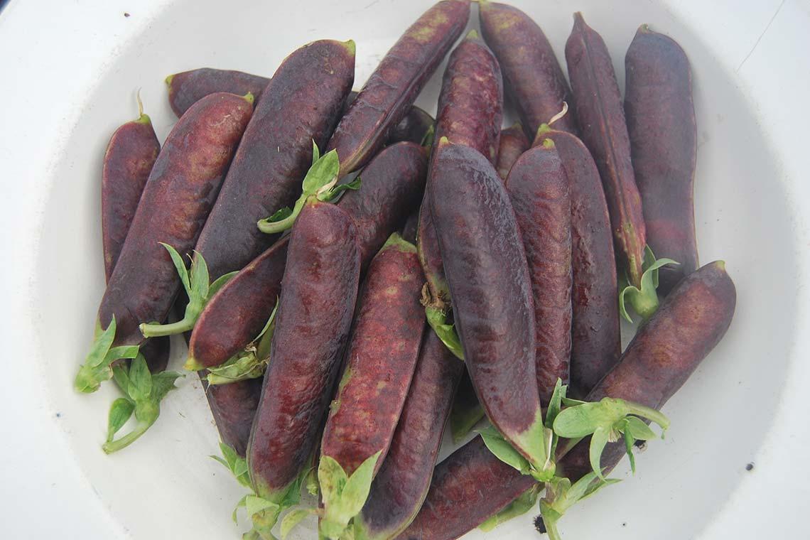 Горох фиолетовый Сизый ност повышенное количество антиоксидантов. Горошины зелёные, молодые, сладкие с терпким вкусом, напоминают по вкусу бобы