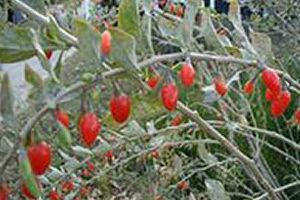 Годжи, Дереза китайская (Lycium Barbarum)