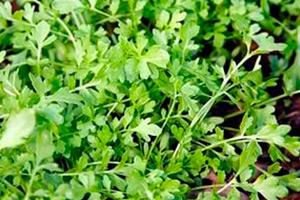 Кресс-салат «Весенний»