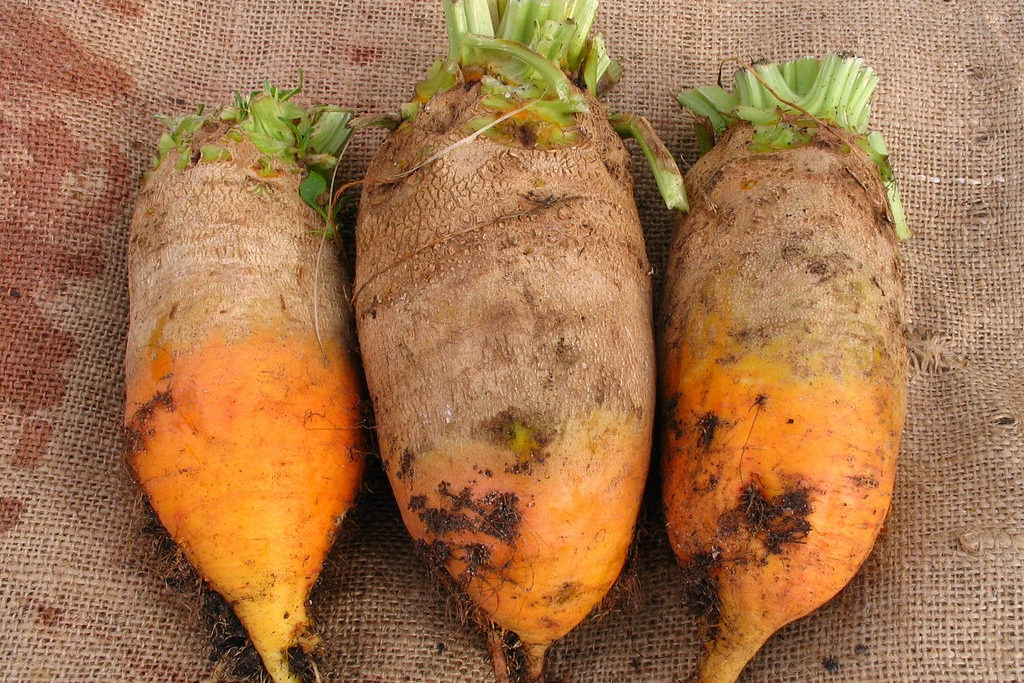 Кормовая свекла сорта рекомендуемые для выращивания 23