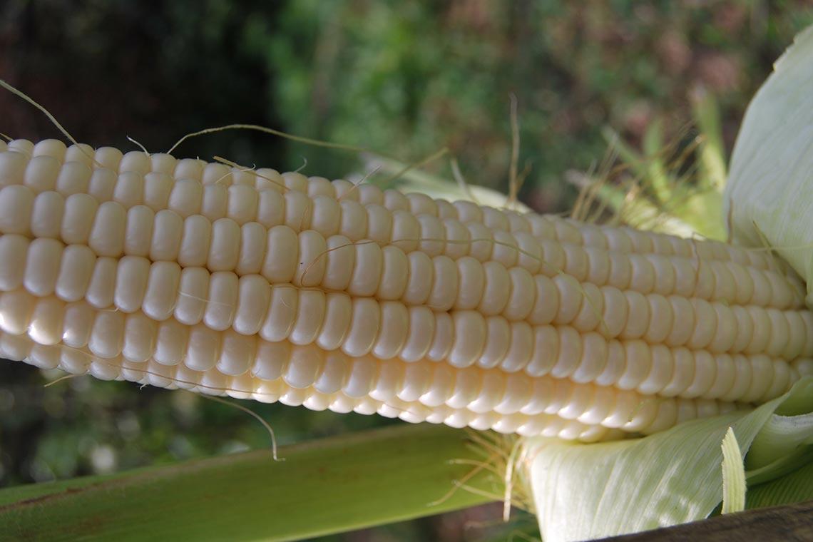 Кукуруза белая сахарная