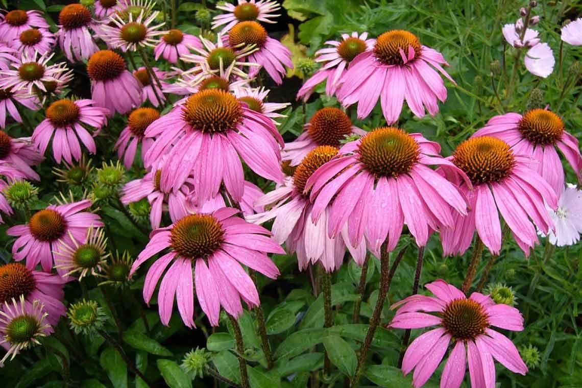 цветы эхинацеи картинки то, что такое
