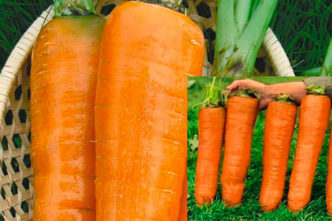 Морковь Красный великан