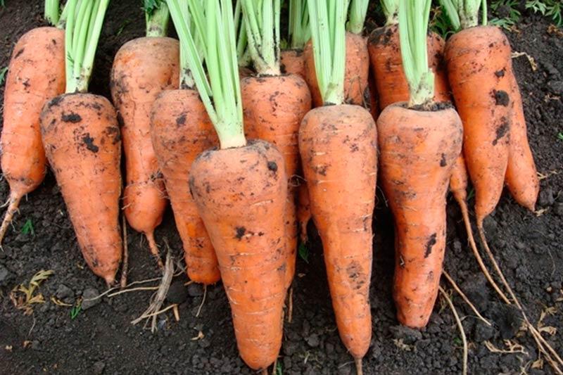 Морковь Шантане роял