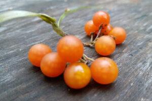 Паслён Отриколли оранжевый