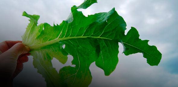 Витаминная польза свежей зелени
